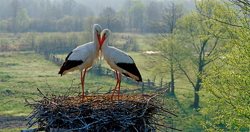 Whote storks nuzzling noses